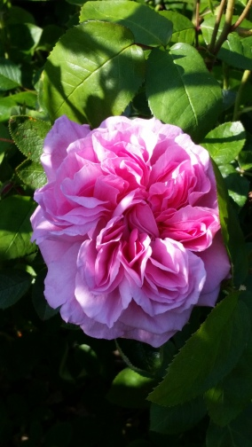 Sweet English Rose